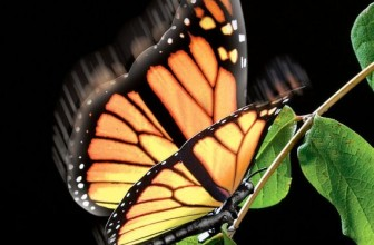Elegant Aliform Monarch Butterfly