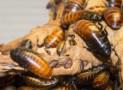 Ross Brooks Crushed Cockroach Medicinal Craze Sweeps Across China