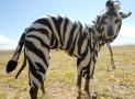 Halloween Zebra Dog Costume